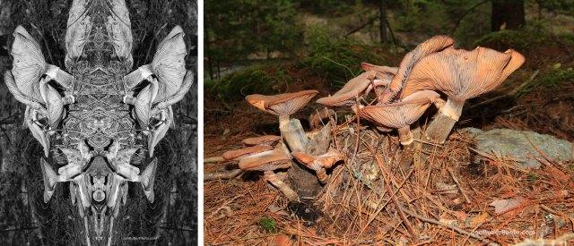 Mushroom 4 comparison