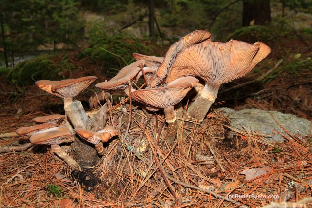 Mushroom 4 photo IMG_5682 watermark